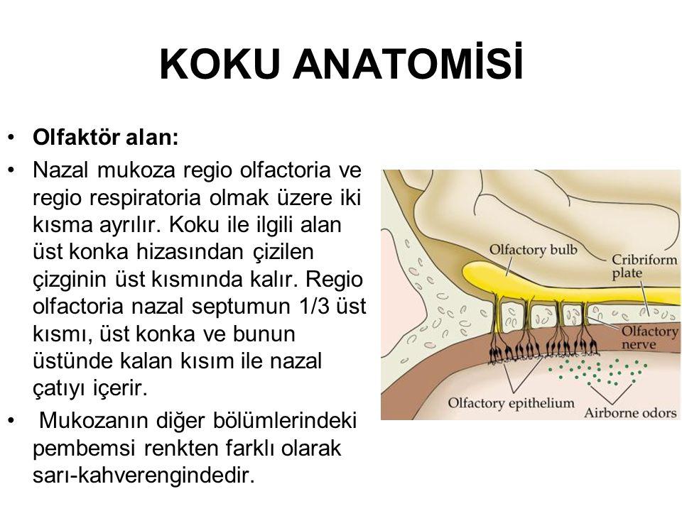 KOKU ANATOMİSİ •Olfaktör alan: •Nazal mukoza regio olfactoria ve regio respiratoria olmak üzere iki kısma ayrılır.
