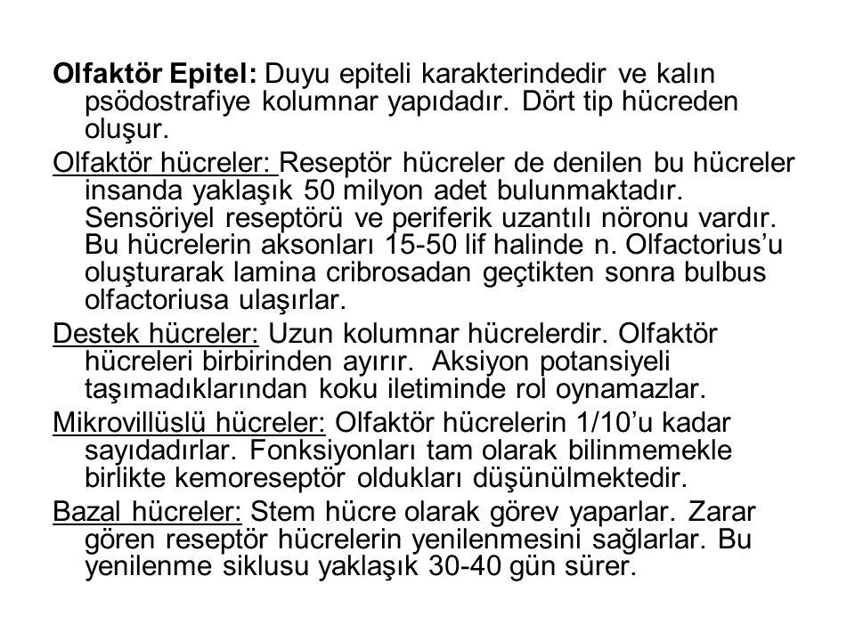 Olfaktör Epitel: Duyu epiteli karakterindedir ve kalın psödostrafiye kolumnar yapıdadır.