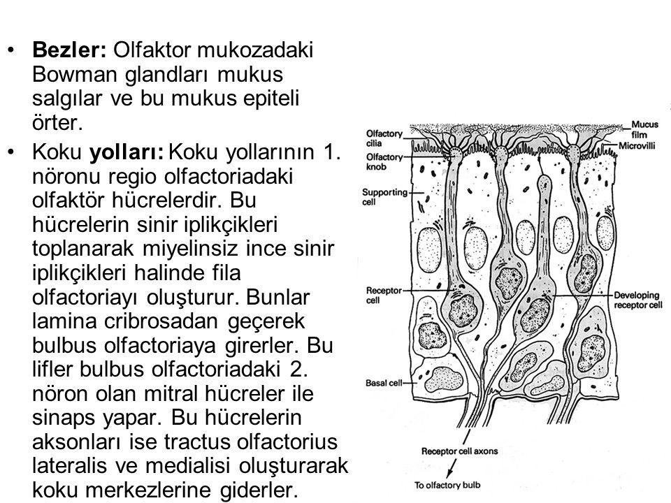 •Bezler: Olfaktor mukozadaki Bowman glandları mukus salgılar ve bu mukus epiteli örter.