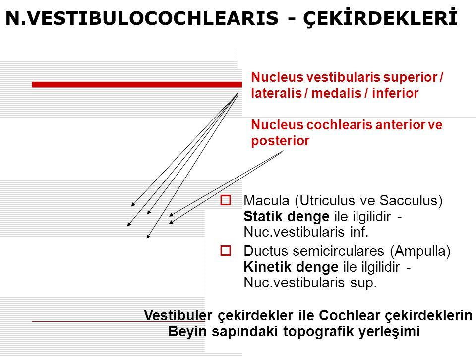 N.VESTIBULOCOCHLEARIS - ÇEKİRDEKLERİ Nucleus vestibularis superior / lateralis / medalis / inferior Nucleus cochlearis anterior ve posterior Vestibule