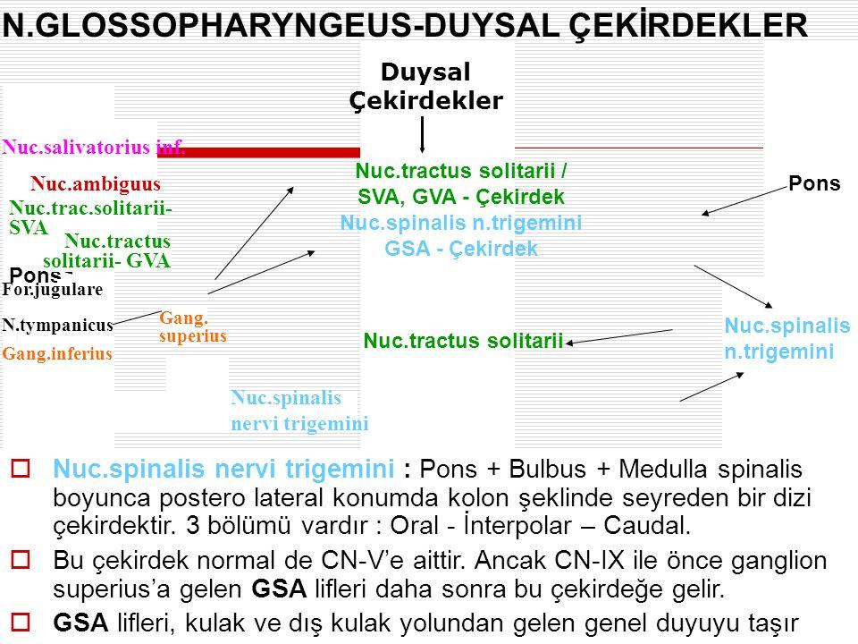 N.GLOSSOPHARYNGEUS-DUYSAL ÇEKİRDEKLER Pons Bulbus Nuc.spinalis n.trigemini  Nuc.spinalis nervi trigemini : Pons + Bulbus + Medulla spinalis boyunca p