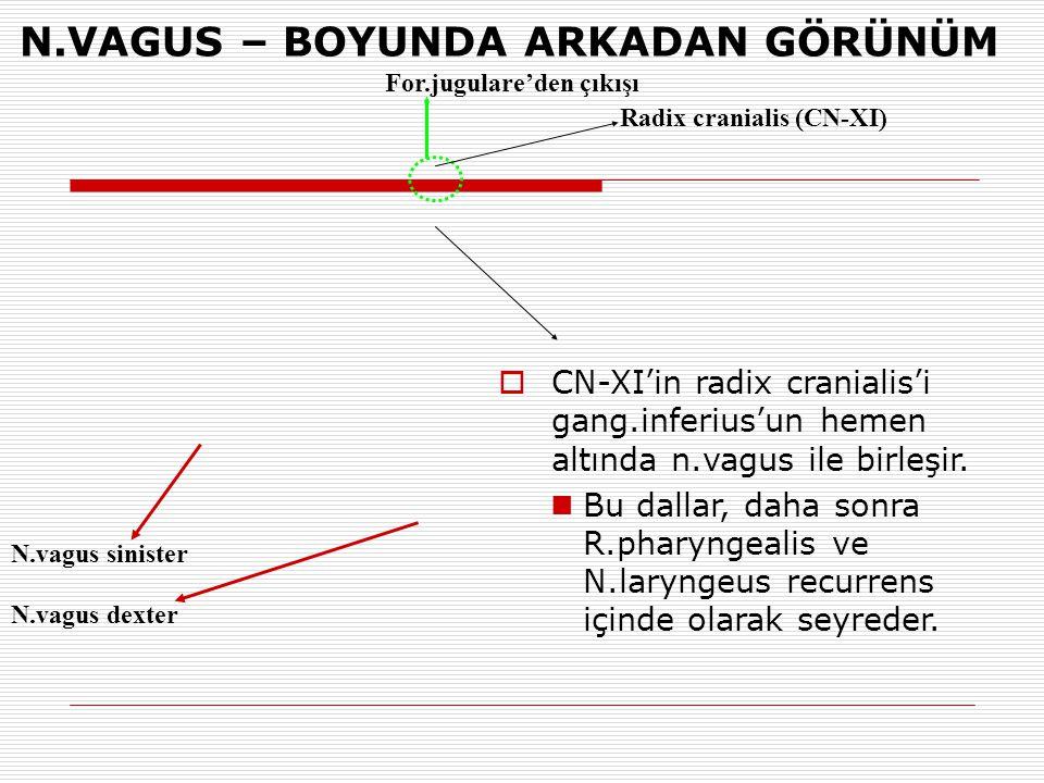 N.vagus sinister N.vagus dexter N.VAGUS – BOYUNDA ARKADAN GÖRÜNÜM For.jugulare'den çıkışı  CN-XI'in radix cranialis'i gang.inferius'un hemen altında