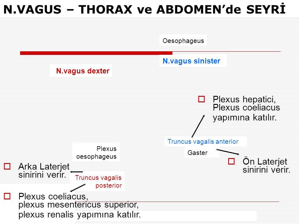 N.vagus sinister N.vagus dexter Oesophageus Truncus vagalis anterior Gaster Truncus vagalis posterior Plexus oesophageus  Plexus coeliacus, plexus me