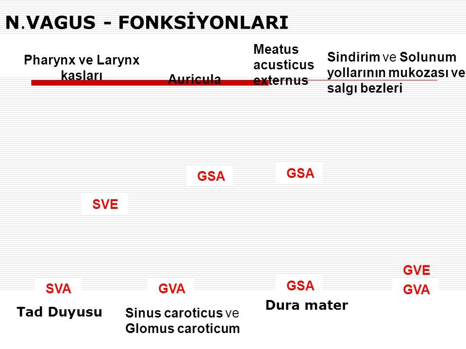 N.VAGUS - FONKSİYONLARI SVA Tad Duyusu GSA GVA SVE GVE Pharynx ve Larynx kasları Sinus caroticus ve Glomus caroticum Sindirim ve Solunum yollarının mu