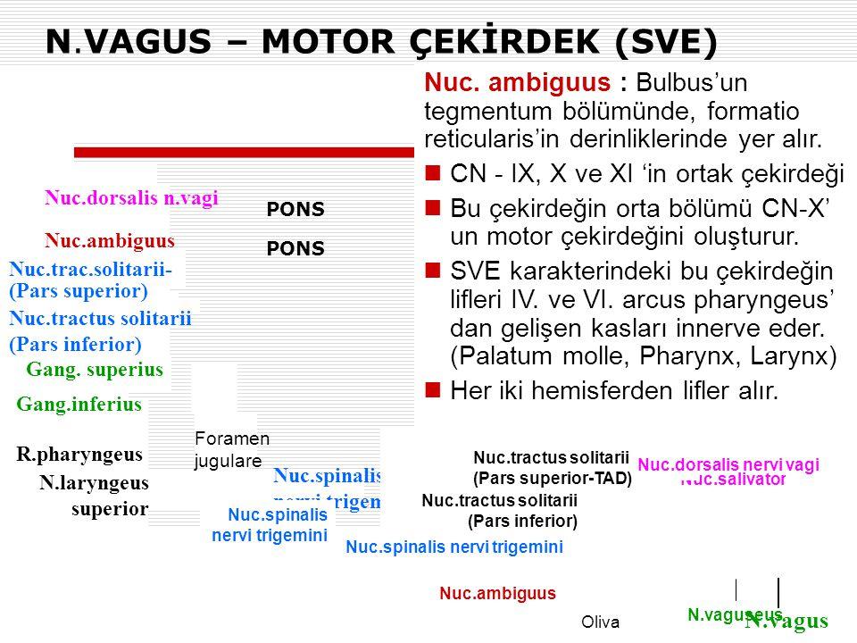 N.VAGUS – MOTOR ÇEKİRDEK (SVE) Nuc.spinalis nervi trigemini PONS Nuc.salivatorius inf. N.vaguseus  Nuc. ambiguus : Bulbus'un tegmentum bölümünde, for