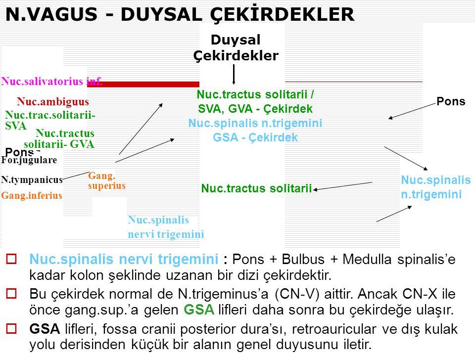 Pons Bulbus Nuc.spinalis n.trigemini  Nuc.spinalis nervi trigemini : Pons + Bulbus + Medulla spinalis'e kadar kolon şeklinde uzanan bir dizi çekirdek