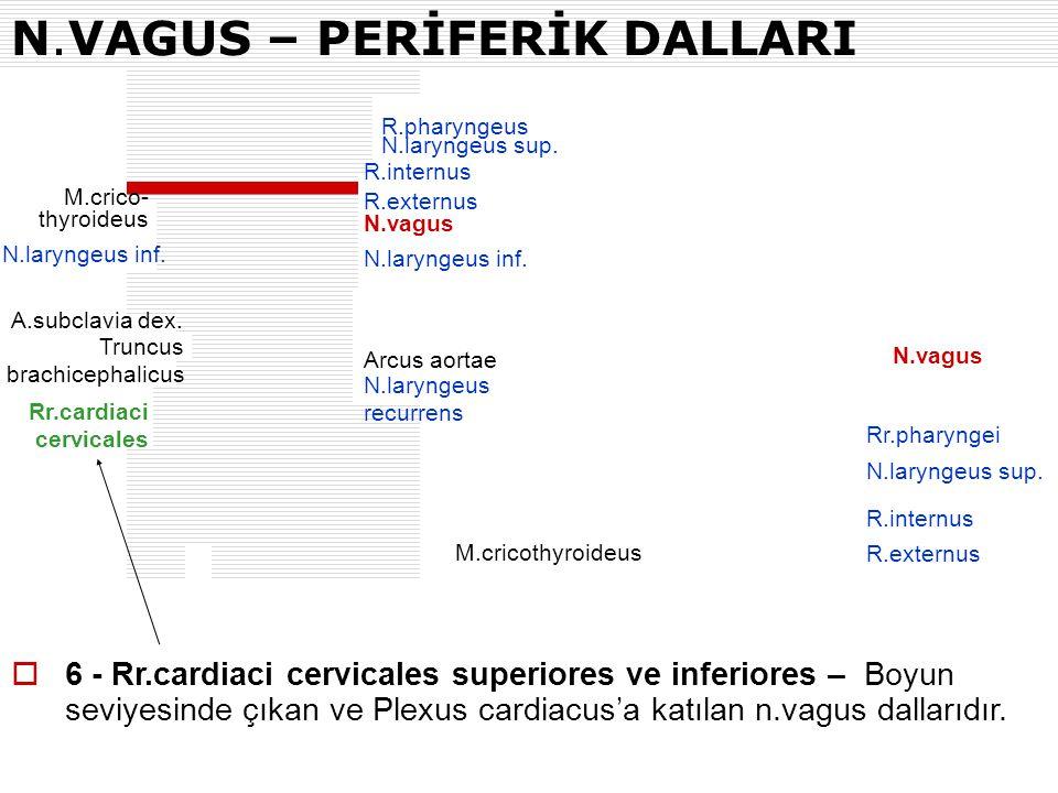 N.VAGUS – PERİFERİK DALLARI R.pharyngeus N.laryngeus sup. R.internus R.externus N.vagus N.laryngeus inf. Arcus aortae N.laryngeus recurrens N.laryngeu