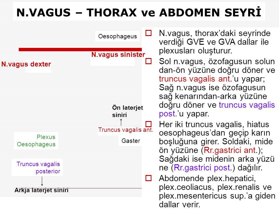 N.VAGUS – THORAX ve ABDOMEN SEYRİ Oesophageus Gaster Truncus vagalis posterior Plexus Oesophageus N.vagus dexter  N.vagus, thorax'daki seyrinde verdi