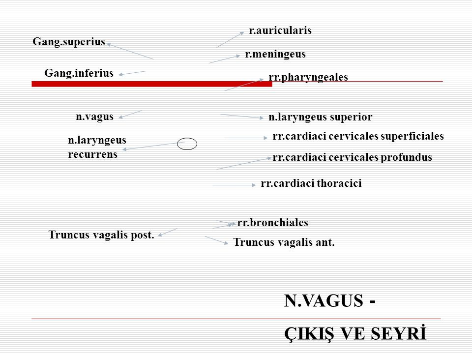 N.VAGUS - ÇIKIŞ VE SEYRİ Gang.superius Gang.inferius n.vagus n.laryngeus recurrens Truncus vagalis post. Truncus vagalis ant. r.auricularis r.meningeu