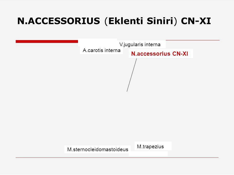 N.ACCESSORIUS (Eklenti Siniri) CN-XI A.carotis interna V.jugularis interna N.accessorius CN-XI M.trapezius M.sternocleidomastoideus