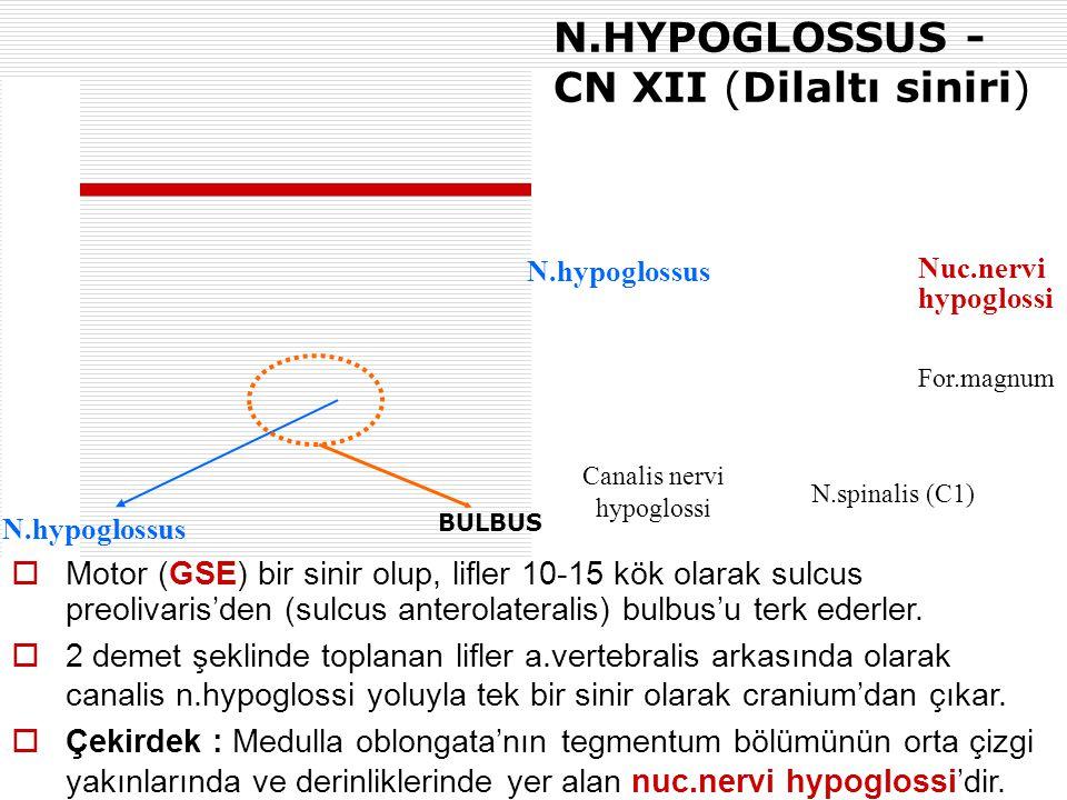 N.HYPOGLOSSUS - CN XII (Dilaltı siniri)  Motor (GSE) bir sinir olup, lifler 10-15 kök olarak sulcus preolivaris'den (sulcus anterolateralis) bulbus'u