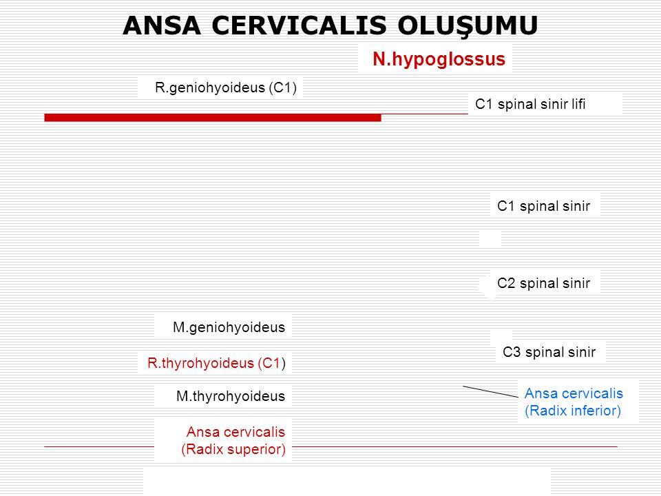 N.hypoglossus C1 spinal sinir lifi C1 spinal sinir C3 spinal sinir R.geniohyoideus (C1) M.geniohyoideus R.thyrohyoideus (C1) M.thyrohyoideus Ansa cerv