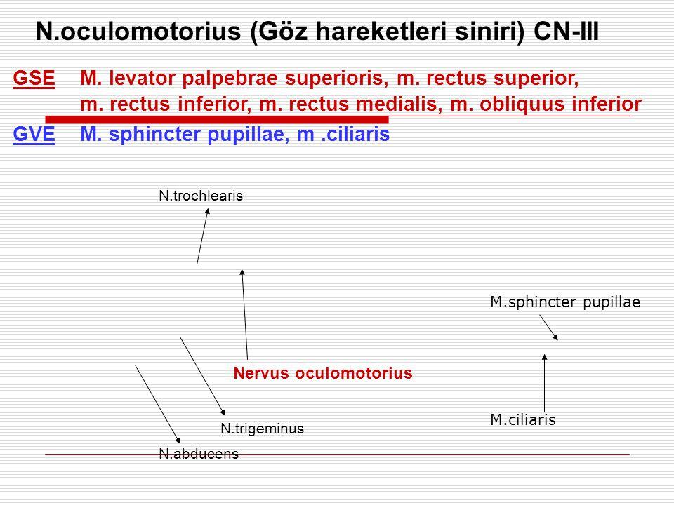 N. oculomotorius (Göz hareketleri siniri) CN-III GSEM. levator palpebrae superioris, m. rectus superior, m. rectus inferior, m. rectus medialis, m. ob