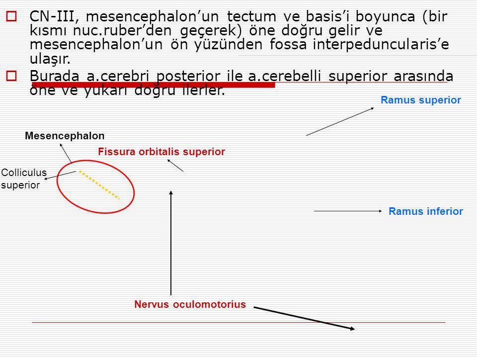 Nervus oculomotorius Fissura orbitalis superior Ramus superior Ramus inferior Mesencephalon  CN-III, mesencephalon'un tectum ve basis'i boyunca (bir