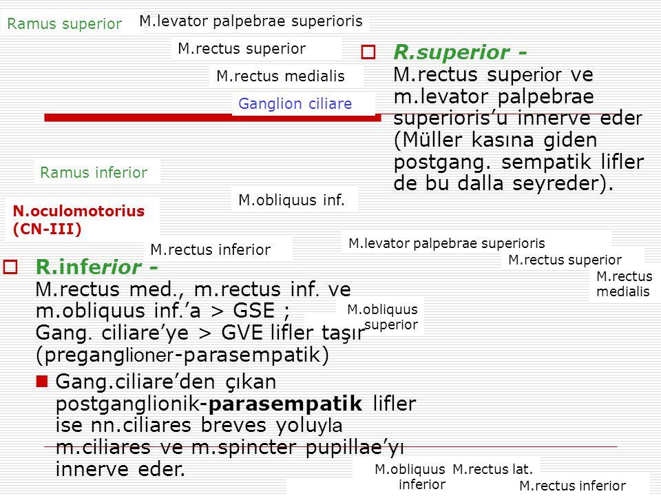 Ramus inferior Ramus superior N.oculomotorius (CN-III) M.rectus superior M.rectus medialis Ganglion ciliare M.obliquus inf. M.rectus inferior M.levato