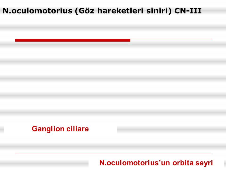 N.oculomotorius (Göz hareketleri siniri) CN-III Ganglion ciliare N.oculomotorius'un orbita seyri