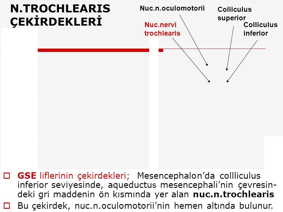 Colliculus superior Nuc.n.oculomotorii Colliculus inferior N.TROCHLEARIS ÇEKİRDEKLERİ  GSE liflerinin çekirdekleri; Mesencephalon'da collliculus infe