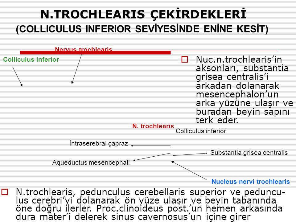 Nervus trochlearis Colliculus inferior Nucleus nervi trochlearis (COLLICULUS INFERIOR SEVİYESİNDE ENİNE KESİT) N.TROCHLEARIS ÇEKİRDEKLERİ N. trochlear