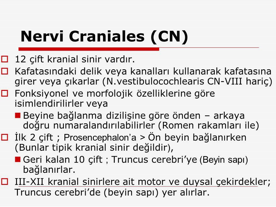 Nervi Craniales (CN)  12 çift kranial sinir vardır.  Kafatasındaki delik veya kanalları kullanarak kafatasına girer veya çıkarlar (N.vestibulocochle