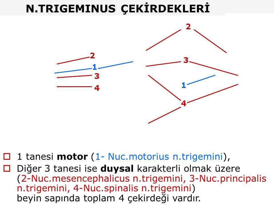 N.TRIGEMINUS ÇEKİRDEKLERİ  1 tanesi motor (1- Nuc.motorius n.trigemini),  Diğer 3 tanesi ise duysal karakterli olmak üzere (2-Nuc.mesencephalicus n.