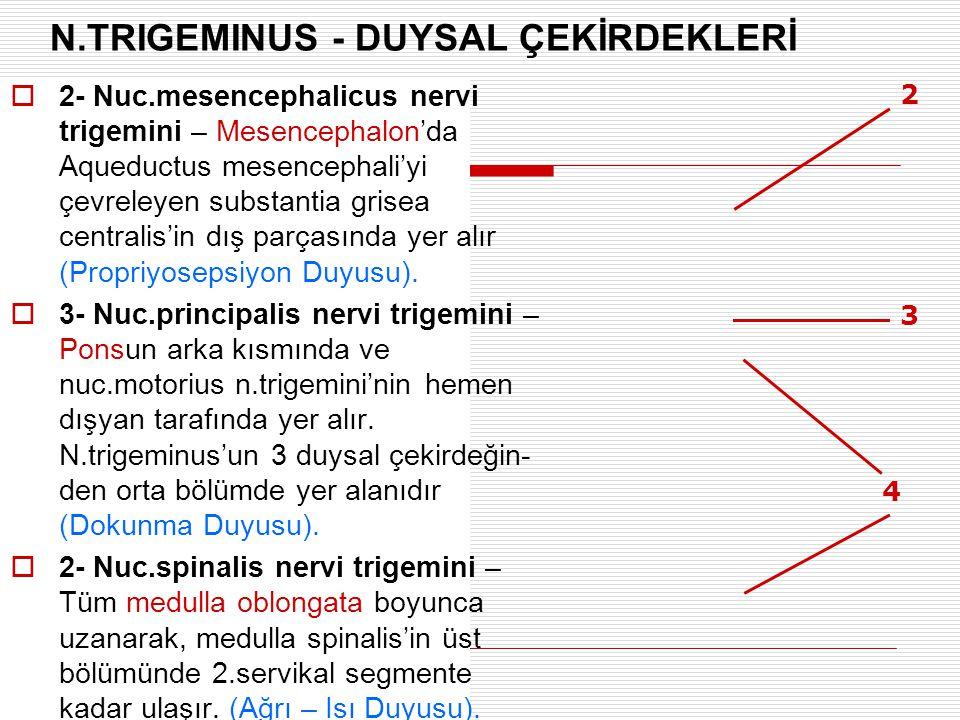 2 3 4 N.TRIGEMINUS - DUYSAL ÇEKİRDEKLERİ  2- Nuc.mesencephalicus nervi trigemini – Mesencephalon'da Aqueductus mesencephali'yi çevreleyen substantia