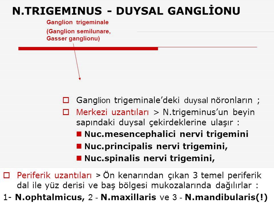 Ganglion trigeminale (Ganglion semilunare, Gasser ganglionu) N.TRIGEMINUS - DUYSAL GANGLİONU  Gang lion trigeminale'deki duysal nöronların ;  M erke