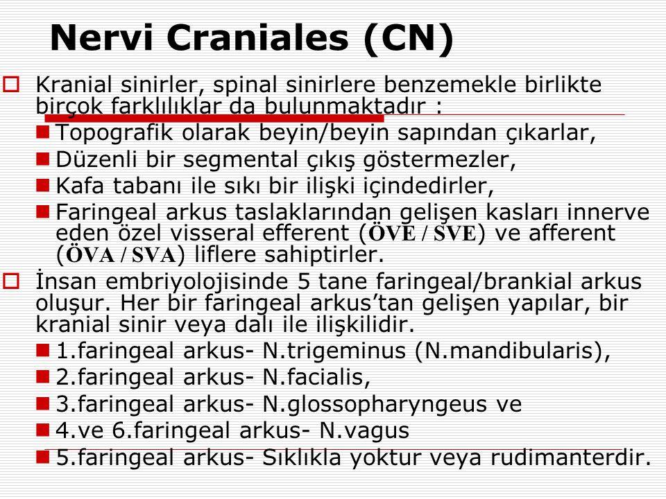 Nervi Craniales (CN)  Kranial sinirler, spinal sinirlere benzemekle birlikte birçok farklılıklar da bulunmaktadır :  Topografik olarak beyin/beyin s