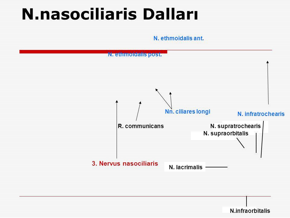 3. Nervus nasociliaris N. ethmoidalis post. N. ethmoidalis ant. N. infratrochearis R. communicans Nn. ciliares longi N.nasociliaris Dalları N. supratr
