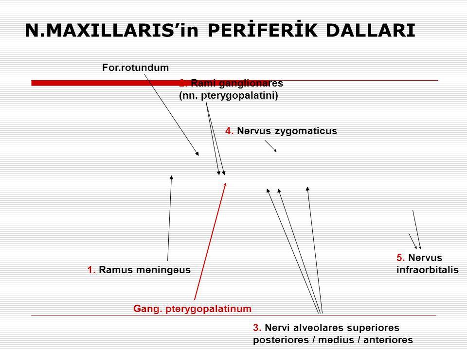 1. Ramus meningeus 3. Nervi alveolares superiores posteriores / medius / anteriores 5. Nervus infraorbitalis 2. Rami ganglionares (nn. pterygopalatini