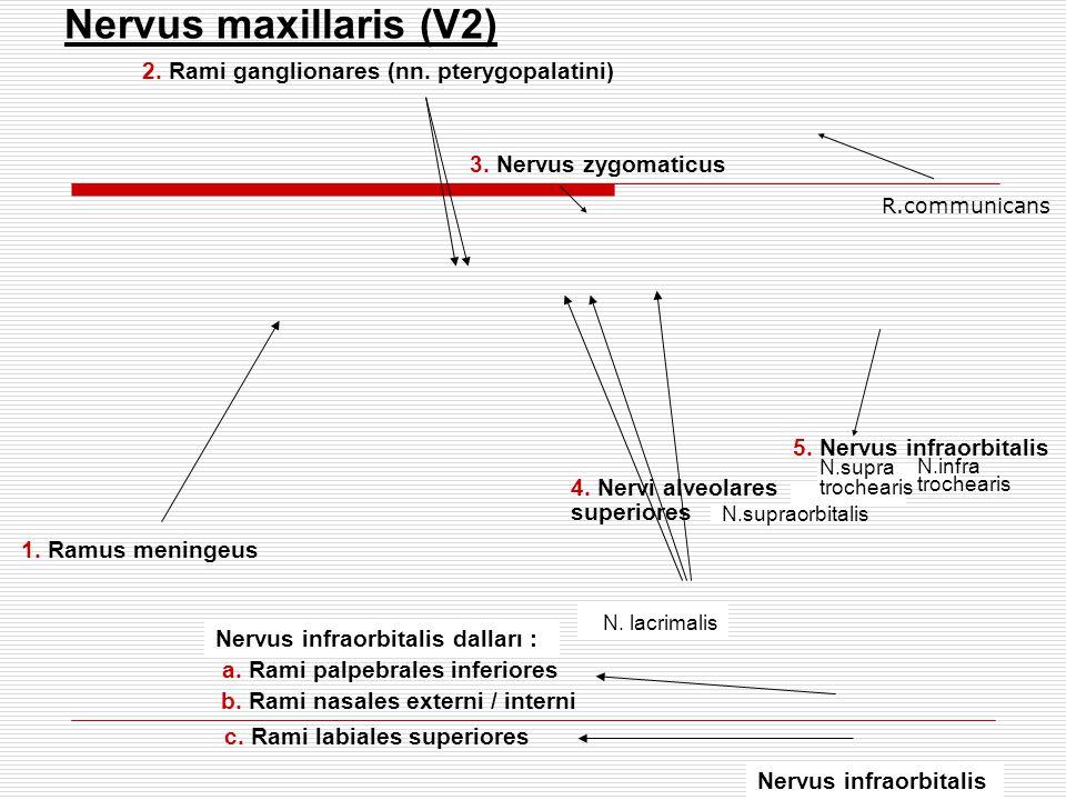 1. Ramus meningeus 5. Nervus infraorbitalis Nervus maxillaris (V2) 2. Rami ganglionares (nn. pterygopalatini) 3. Nervus zygomaticus Nervus infraorbita