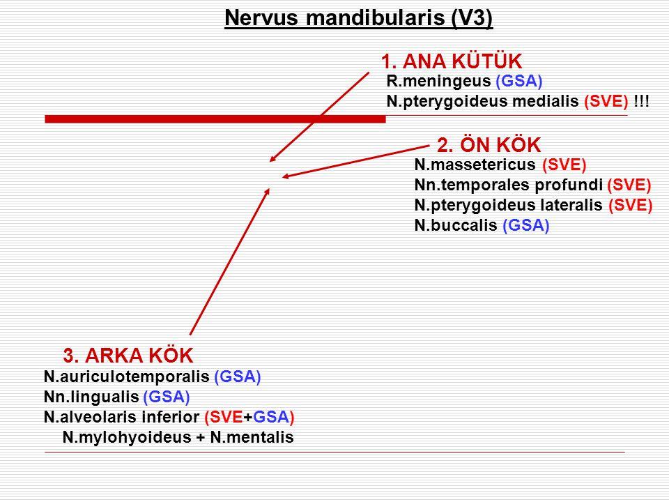 R.meningeus (GSA) N.pterygoideus medialis (SVE) !!! 2. ÖN KÖK 3. ARKA KÖK N.auriculotemporalis (GSA) Nn.lingualis (GSA) N.alveolaris inferior (SVE+GSA