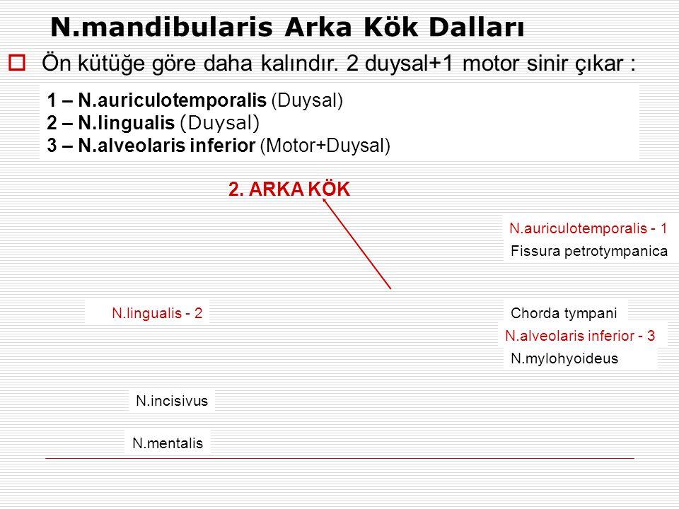 2. ARKA KÖK 1 – N.auriculotemporalis (Duysal) 2 – N.lingualis (Duysal) 3 – N.alveolaris inferior (Motor+Duysal) N.mandibularis Arka Kök Dalları N.ling
