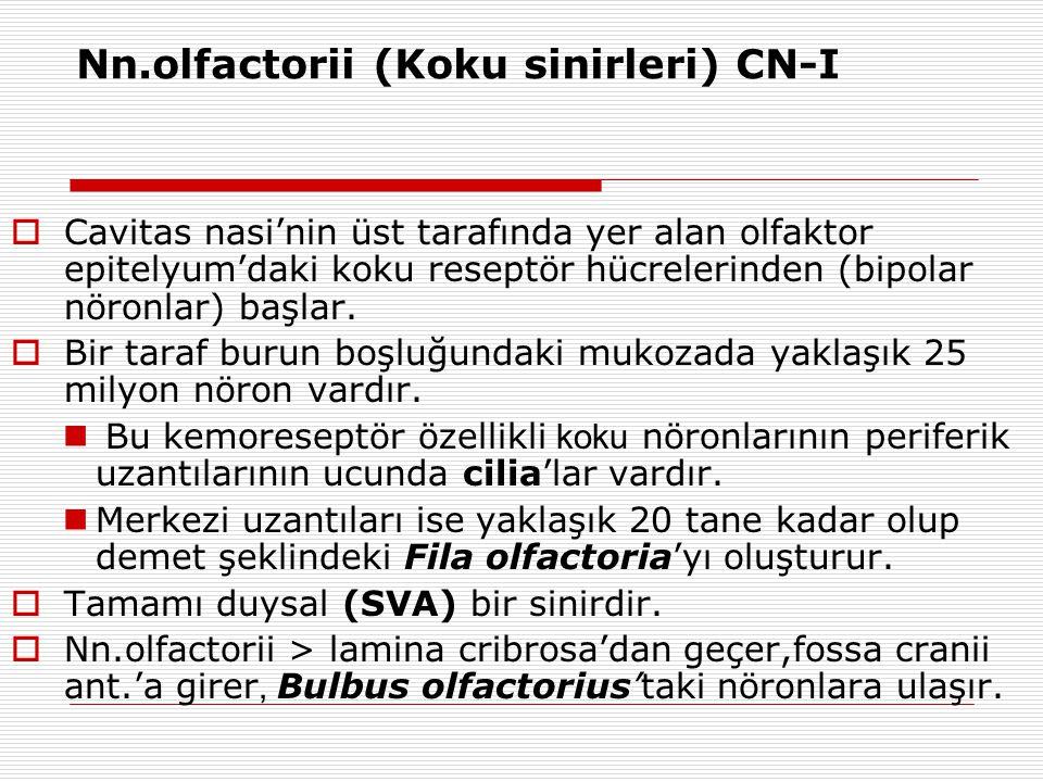 Nn.olfactorii (Koku sinirleri) CN-I  Cavitas nasi'nin üst tarafında yer alan olfaktor epitelyum'daki koku reseptör hücrelerinden (bipolar nöronlar) b