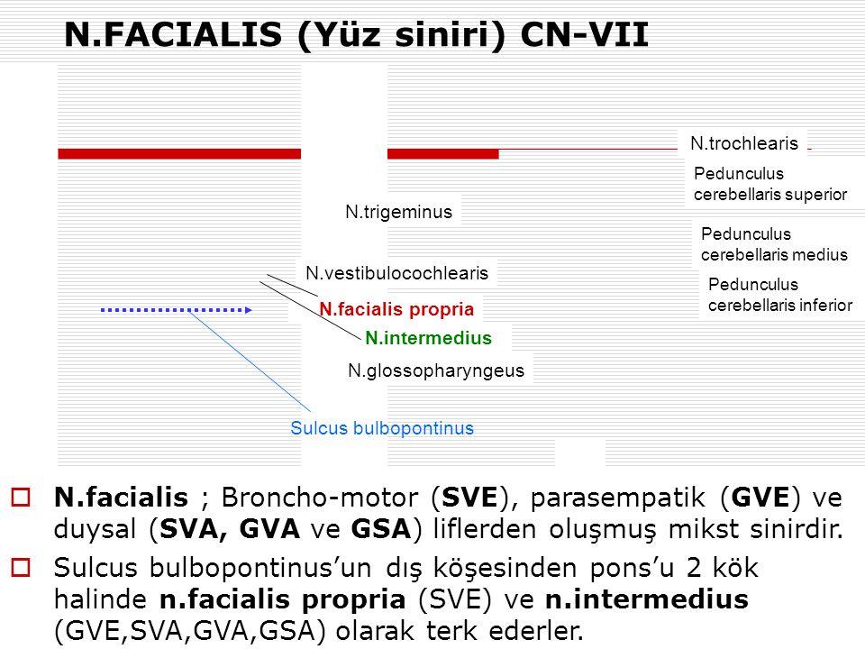 N.FACIALIS (Yüz siniri) CN-VII N.trigeminus N.vestibulocochlearis N.facialis propria N.intermedius N.glossopharyngeus N.trochlearis Pedunculus cerebel