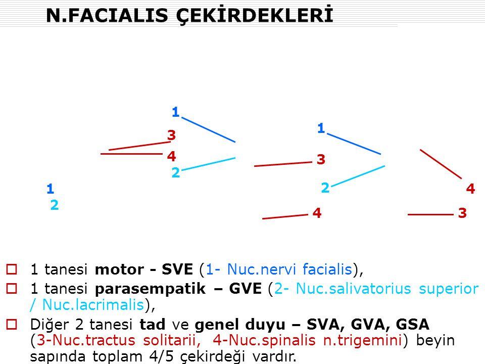 N.FACIALIS ÇEKİRDEKLERİ  1 tanesi motor - SVE (1- Nuc.nervi facialis),  1 tanesi parasempatik – GVE (2- Nuc.salivatorius superior / Nuc.lacrimalis),