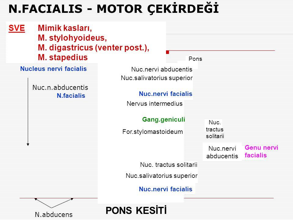 N.FACIALIS - MOTOR ÇEKİRDEĞİ Nucleus nervi facialis SVEMimik kasları, M. stylohyoideus, M. digastricus (venter post.), M. stapedius Nuc.n.abducentis N