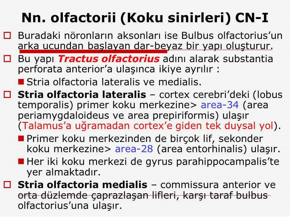Nn. olfactorii (Koku sinirleri) CN-I  Buradaki nöronların aksonları ise Bulbus olfactorius'un arka ucundan başlayan dar-beyaz bir yapı oluşturur.  B