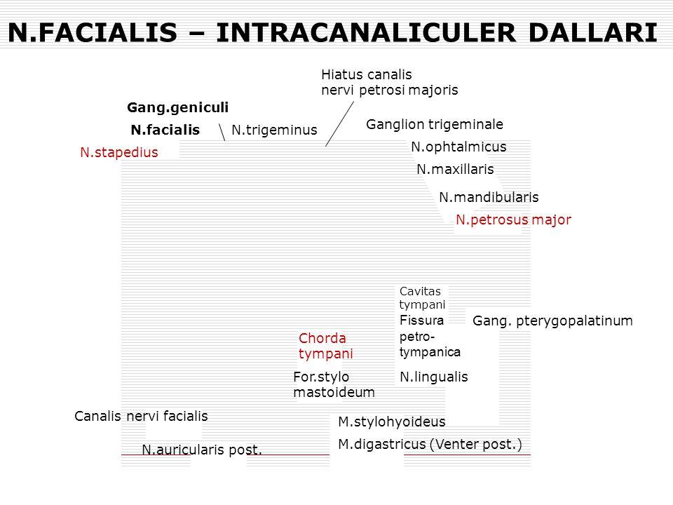 N.FACIALIS – INTRACANALICULER DALLARI N.stapedius N.facialis Gang.geniculi Ganglion trigeminale N.trigeminus Hiatus canalis nervi petrosi majoris N.op