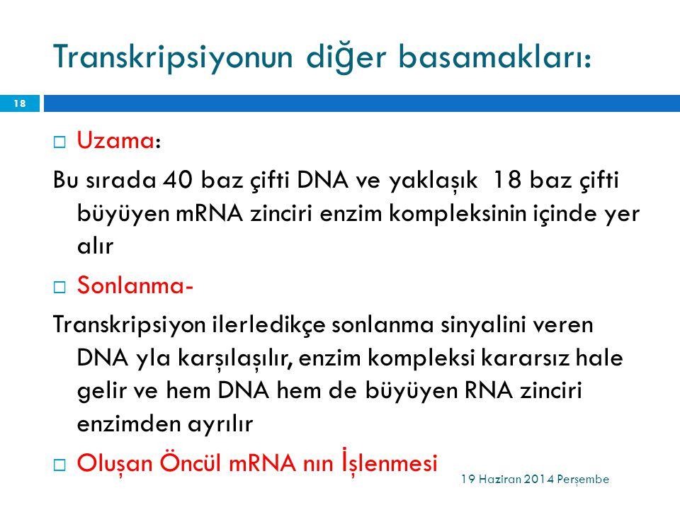 Transkripsiyonun di ğ er basamakları:  Uzama: Bu sırada 40 baz çifti DNA ve yaklaşık 18 baz çifti büyüyen mRNA zinciri enzim kompleksinin içinde yer