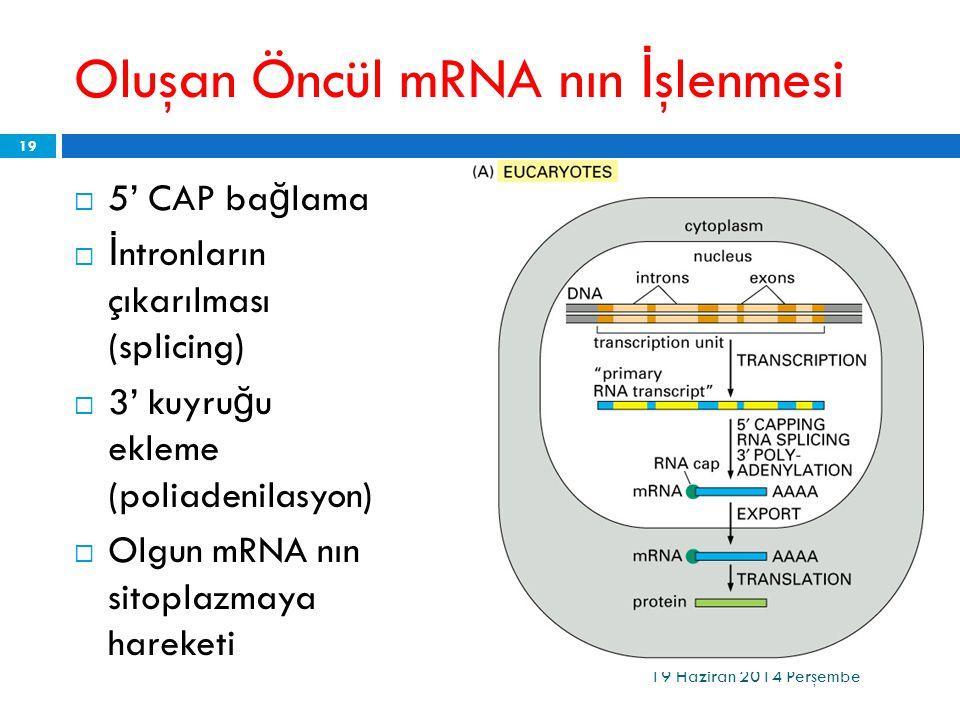 Oluşan Öncül mRNA nın İ şlenmesi  5' CAP ba ğ lama  İ ntronların çıkarılması (splicing)  3' kuyru ğ u ekleme (poliadenilasyon)  Olgun mRNA nın sit
