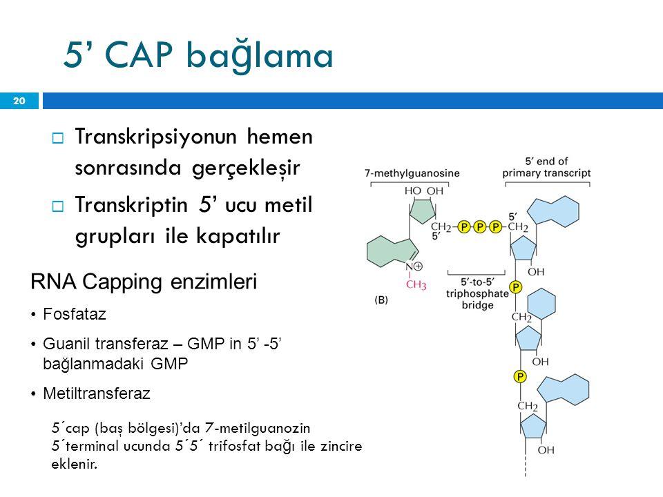 5' CAP ba ğ lama  Transkripsiyonun hemen sonrasında gerçekleşir  Transkriptin 5' ucu metil grupları ile kapatılır 19 Haziran 2014 Perşembe 20 RNA Ca