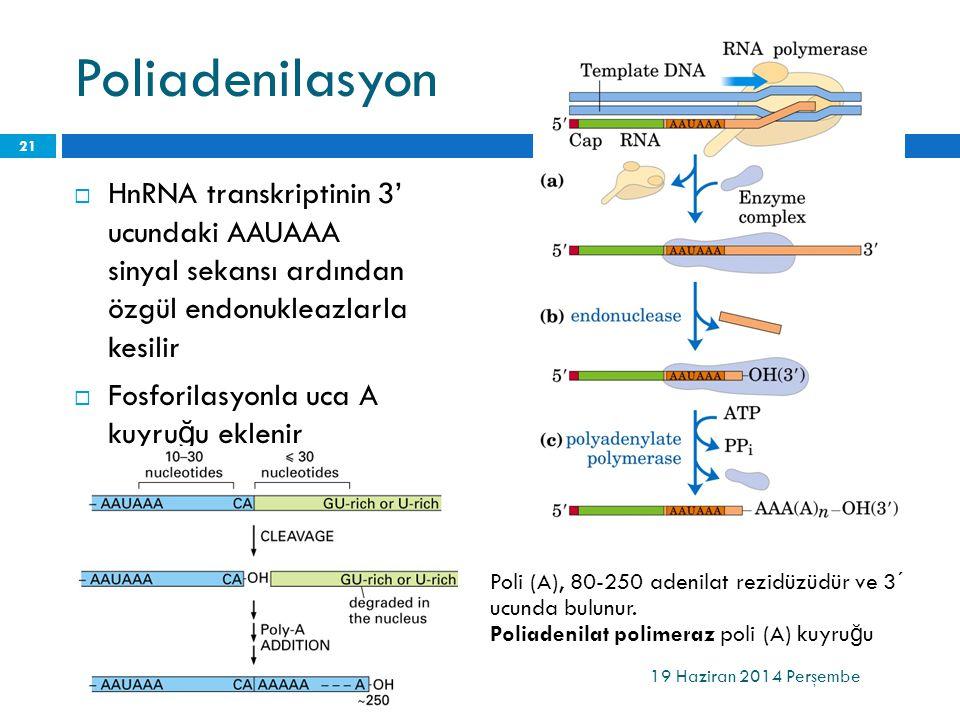 Poliadenilasyon  HnRNA transkriptinin 3' ucundaki AAUAAA sinyal sekansı ardından özgül endonukleazlarla kesilir  Fosforilasyonla uca A kuyru ğ u ekl