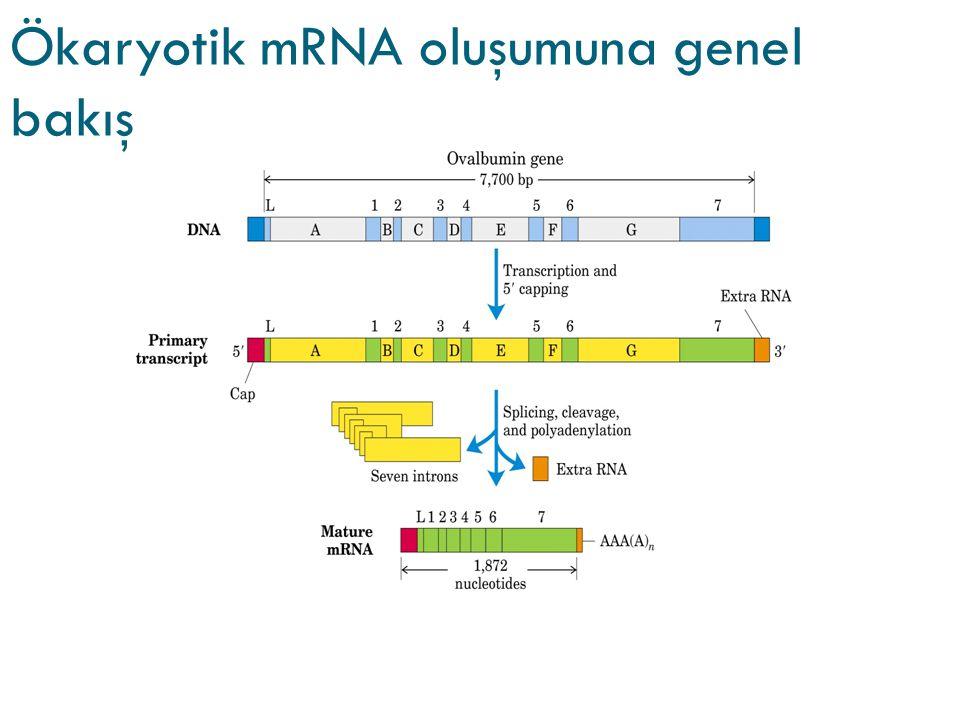 Ökaryotik mRNA oluşumuna genel bakış
