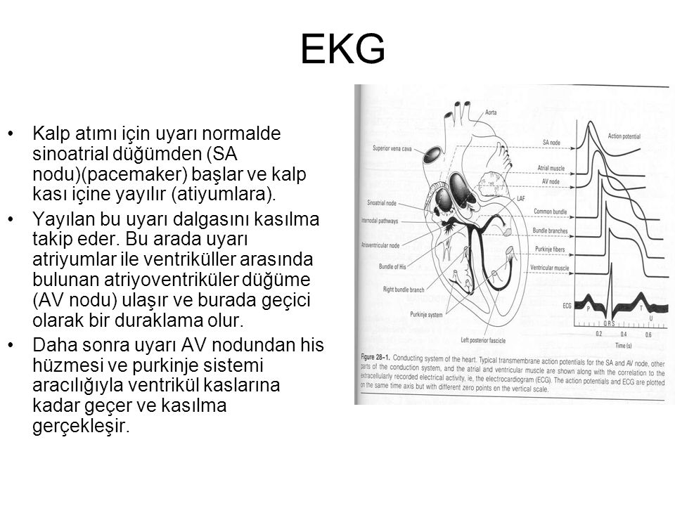 EKG •Kalp atımı için uyarı normalde sinoatrial düğümden (SA nodu)(pacemaker) başlar ve kalp kası içine yayılır (atiyumlara).
