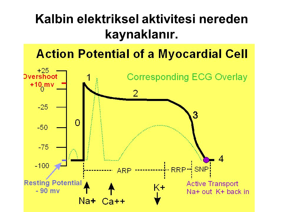 Kalbin elektriksel aktivitesi nereden kaynaklanır.