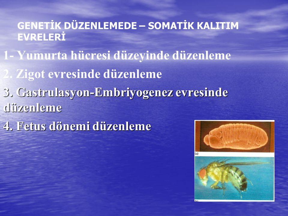 • • Drosophila ergin olmadan önce, döllenmiş yumurtadan başlayarak beş farklı evre geçirir: embriyo, üç larva aşaması ve pupa oluşum aşaması.