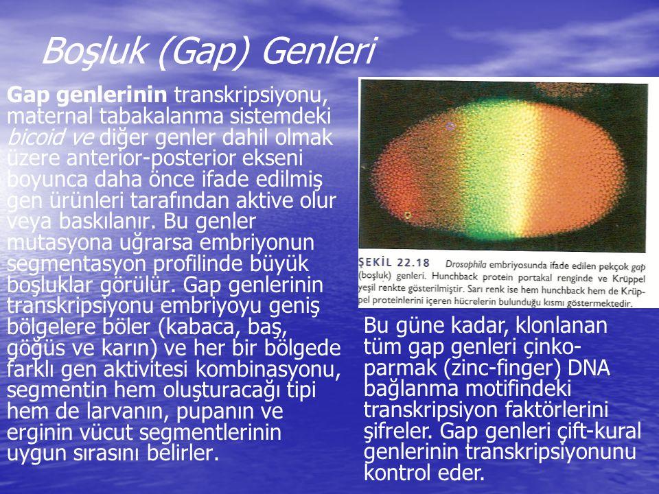 Boşluk (Gap) Genleri Gap genlerinin transkripsiyonu, maternal tabakalanma sistemdeki bicoid ve diğer genler dahil olmak üzere anterior-posterior eksen
