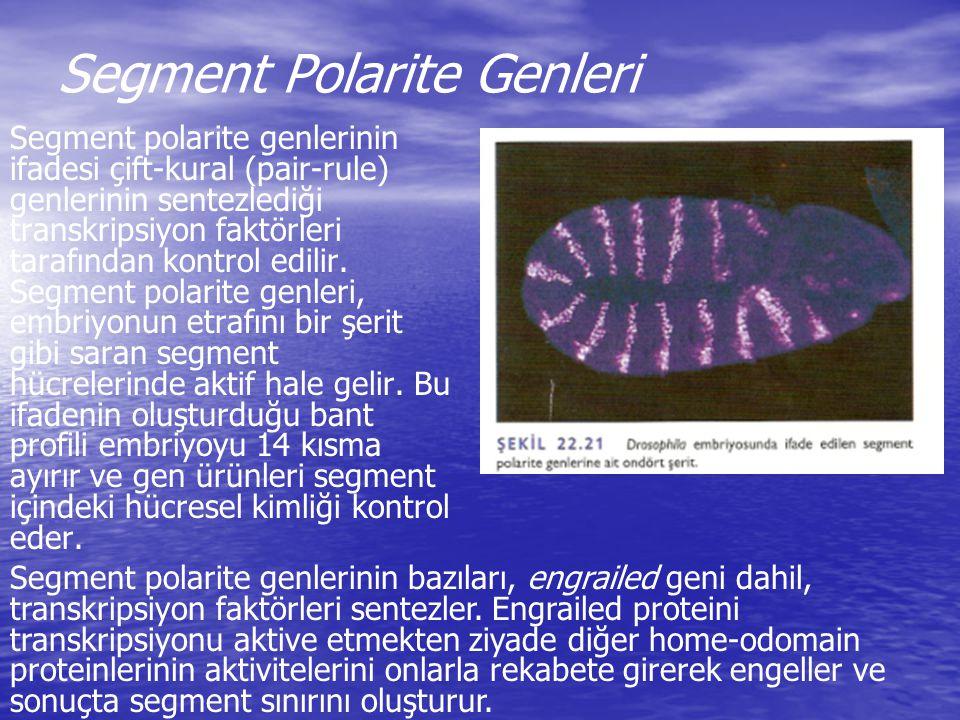 Segment Polarite Genleri Segment polarite genlerinin ifadesi çift-kural (pair-rule) genlerinin sentezlediği transkripsiyon faktörleri tarafından kontr