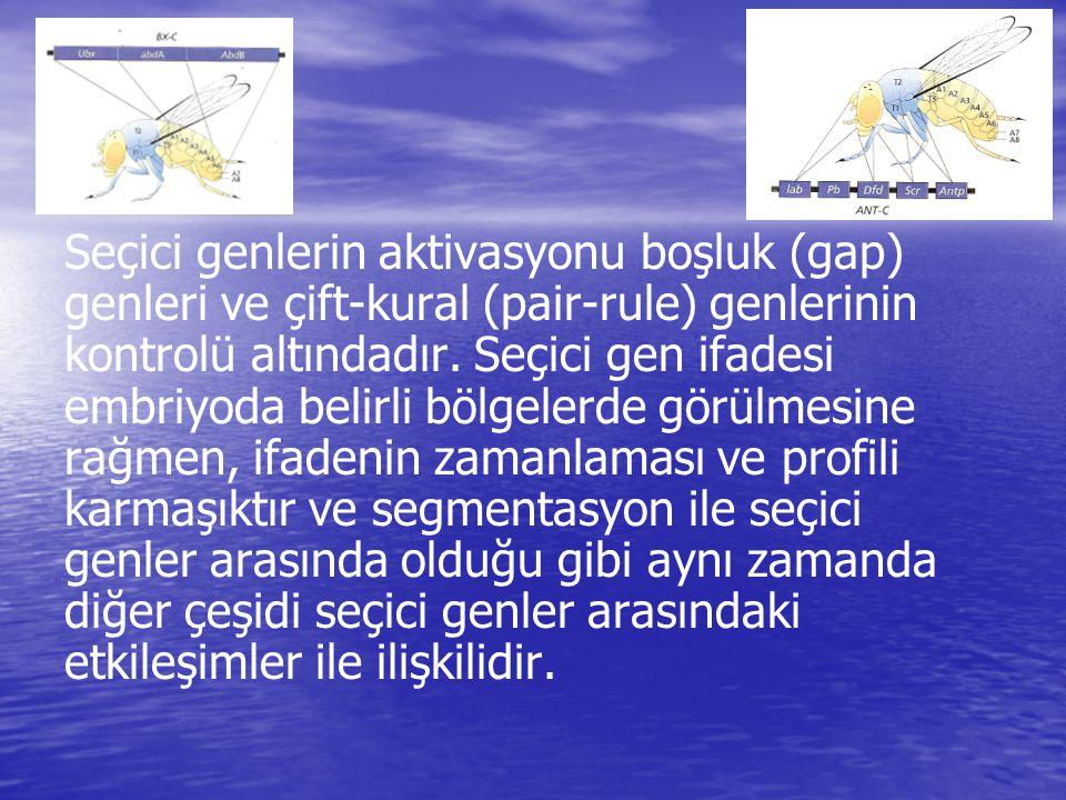 Seçici genlerin aktivasyonu boşluk (gap) genleri ve çift-kural (pair-rule) genlerinin kontrolü altındadır. Seçici gen ifadesi embriyoda belirli bölgel