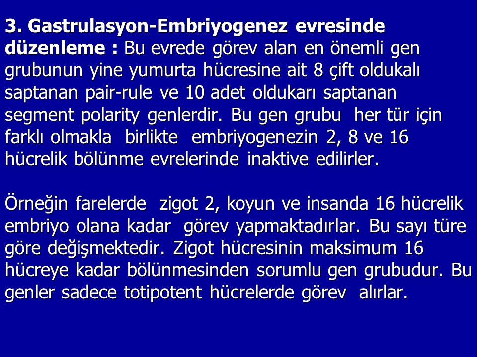 3. Gastrulasyon-Embriyogenez evresinde düzenleme : Bu evrede görev alan en önemli gen grubunun yine yumurta hücresine ait 8 çift oldukalı saptanan pai